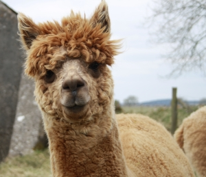 Can an alpaca help you write great product descriptions for your e-commerce website?